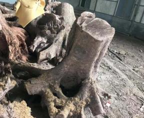正宗金丝楠木树头